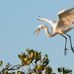 Egret landing on a Mangrove