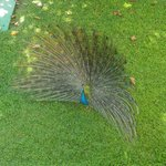 One of the peacocks showing off his feathers