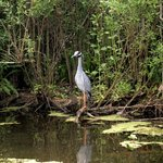 We saw gators and many sea birds, including this yellow crowned night heron.
