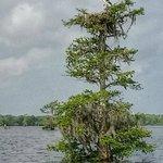 Bird nesting in Cypress Tree