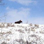 Lonesome moose