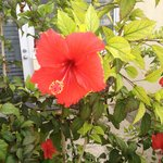 Hibiscus flowers on site