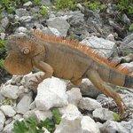 Iguana @ Chankanaab