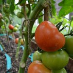 Tomatoes on our greenhouse
