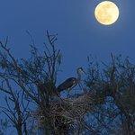 14.4.2014 ore 20.45 airone cenerino sotto la luna Foto Luisa Ferrari