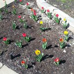 Evelyn's Tulips