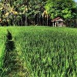 Rice fiels nearby...