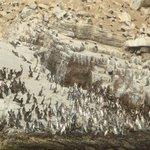 Pingüins de magalhães