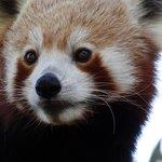 Red Tree Panda