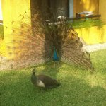 Peacock residents
