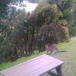 The kangaroo coming for some food