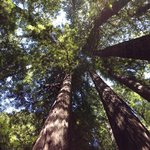 Looking Upwards - Armstrong Redwoods State Park