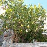 La pianta di limoni sul terrazzo della camera blu