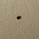 Bed bug on wall on bottom bunk ! No refund