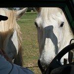 2 chevaux viennent demander quelques croutons de pain