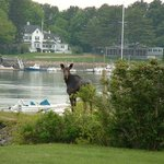 A moose checks out the Dockside !