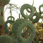 Cactus ciambella