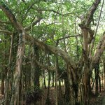 Kenting National Forest Recreation Area 墾丁國家森林遊樂區 (Ficus benghalensis)