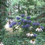 Hydrangeas in bloom.