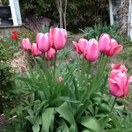 Tulips in bloom in garden