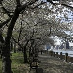 Cherry Tree lined walk along the East River, looking south