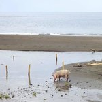 The little pig on the beach