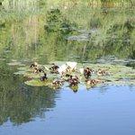 les canetons se reposent sur les nénuphars de notre étang