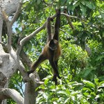 monkey on mono island