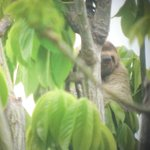 Sloth In Tree Outside Bungalow #4