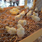 Easter chicks in the foyer.