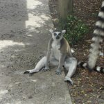 relaxing lemur