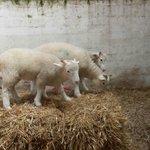 Lambs in the barn (MVUF)