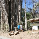 Giant Banyan Tree- Cabuya