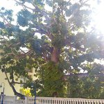 awesome tree near basketball court