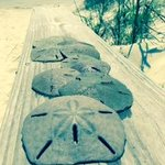 Sand dollars from my walk on the beach at Jekyll