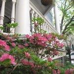 Azaleas when in full bloom in the spring