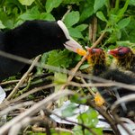 Mother coot feeds baby chicks by the canal outside the hotel