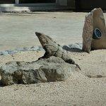 Resident Iguana