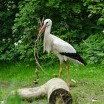 Stork gathering twigs for its nest