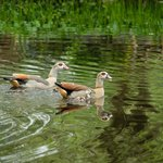 Egyptian geese and babies