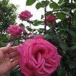 Grandiose rose nel giardino dell'albergo