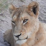 Lioness on drive