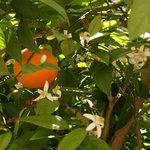 orangers dans la cour