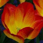 Beautiful tulips in Keukenhof