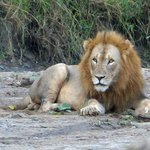 This was one of a group of 5 lions which we saw within our first hour of arriving at Zebra Hills