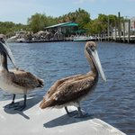 Pelicans hitched a boat ride!