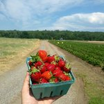 Strawberry Harvest Your Own in Jun/Jul