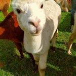 More Alpaca goodness