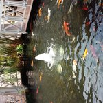 Koi Pond on Resort Grounds