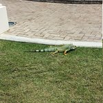 Iguana on Resort Grounds